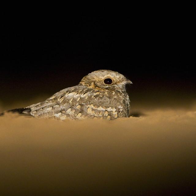 """""""Nubische Nachtzwaluw, Nubian Nightjar, Caprimulgus nubicus tamaricis"""" stock image"""