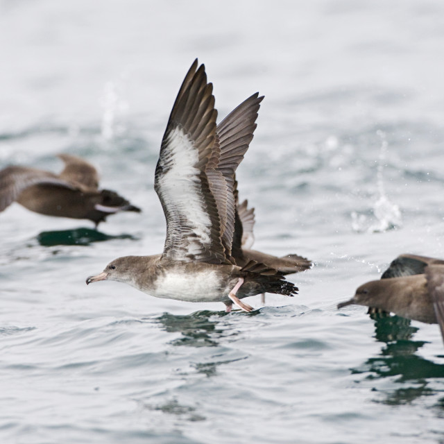 """""""Chileense Grote Pijlstormvogel, Pink-footed Shearwater, Puffinus"""" stock image"""