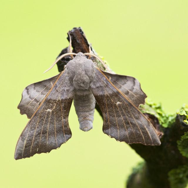 """""""Populierenpijlstaart, Poplar Hawk-moth, Laothoe populi"""" stock image"""