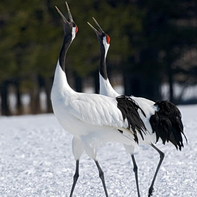 """""""Red-crowned Crane, Chinese Kraanvogel, Grus japonensis"""" stock image"""