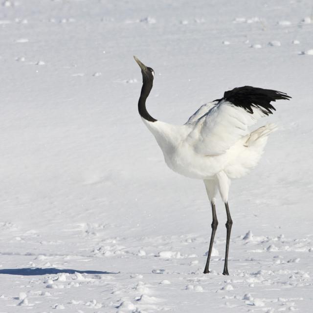 """""""Chinese Kraanvogel; Red-crowned Crane"""" stock image"""