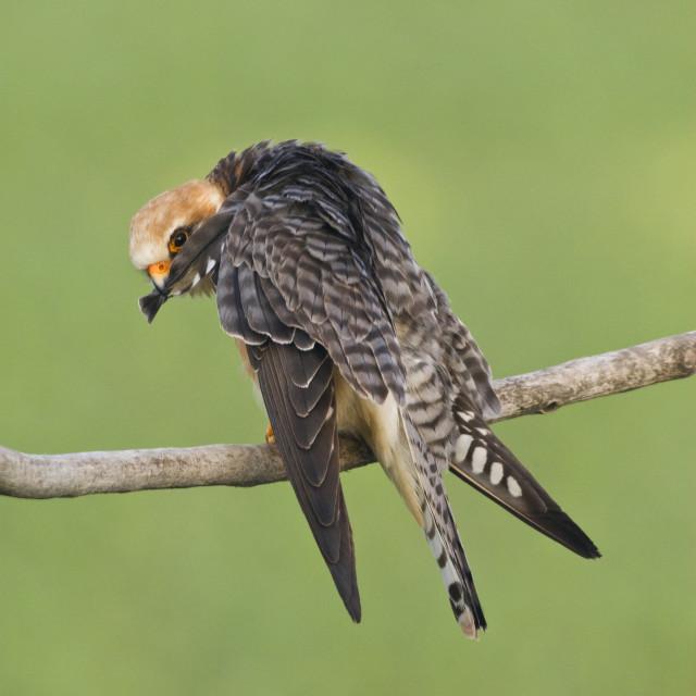 """Roodpootvalk, Red-footed Falcon, Falco vespertinus"" stock image"
