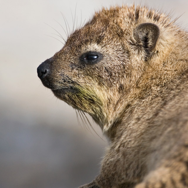 """Klipdas, Rock Hyrax, Procavia capensis"" stock image"