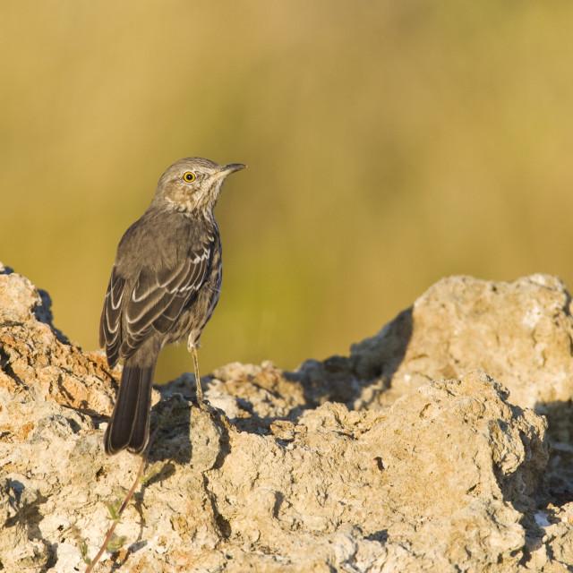 """Bergspotlijster; Sage Thrasher; Oreoscoptes montanus"" stock image"