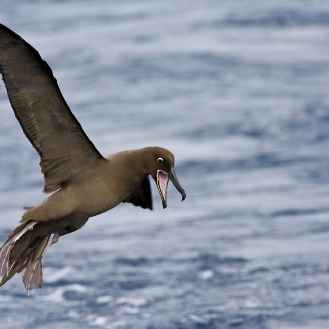 """Zwarte Albatros, Sooty Albatross, Phoebetria fusca"" stock image"