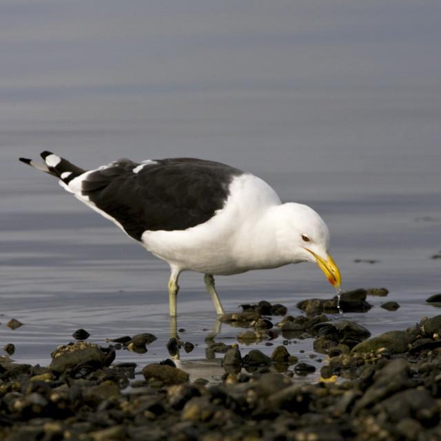 """Kelpmeeuw, Kelp Gull, Larus dominicanus"" stock image"