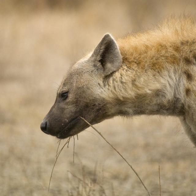 """Gevlekte Hyena, Spotted Hyena, Crocuta crocuta"" stock image"
