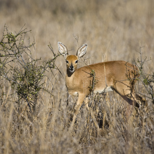 """Steenbokantilope, Steenbok Antelope, Raphicerus Campestris"" stock image"