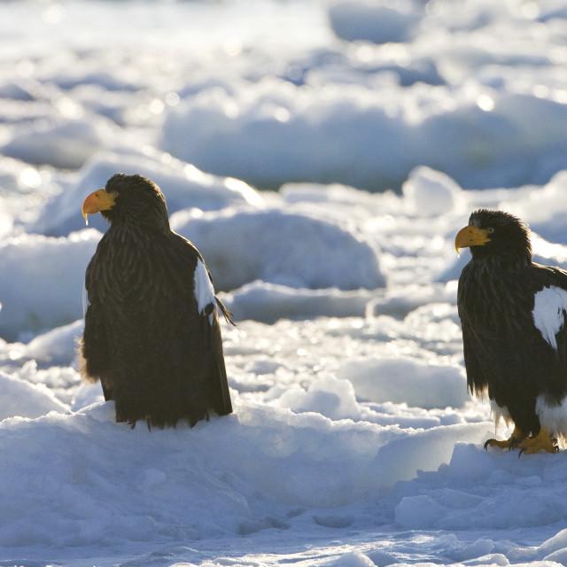 """""""Stellers Sea-eagle, Steller-zeearend, Haliaeetus pelagicus"""" stock image"""