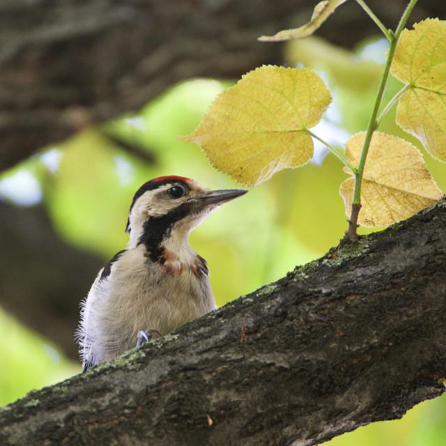 """""""Syrische Bonte Specht, Syrian Woodpecker, Dendrocopos syriacus"""" stock image"""