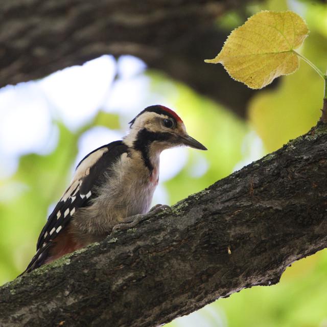 """""""Syrische Bonte Specht, Syrian Woodpecker, Dendrocopos syriacus;"""" stock image"""