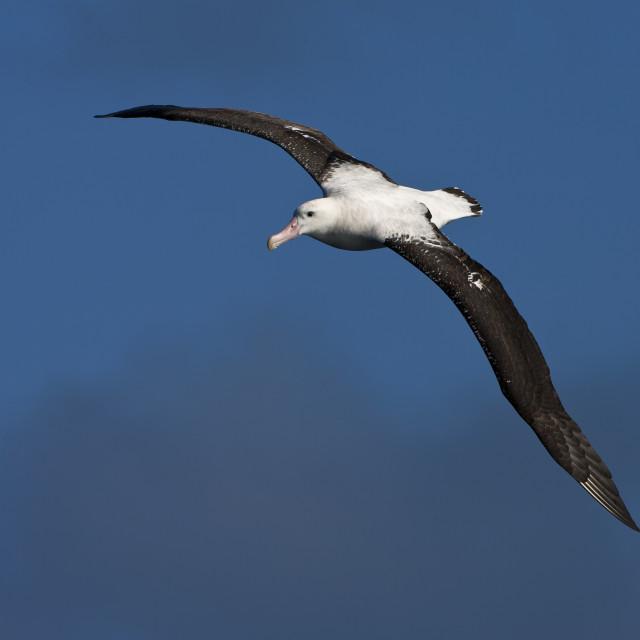 """Tristanalbatros; Tristan Albatross; Diomedea dabbenena"" stock image"
