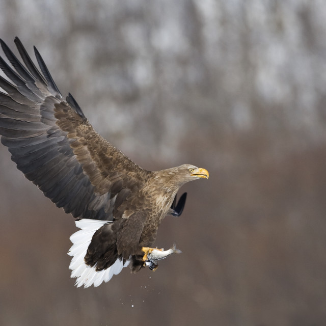"""""""Zeearend volwassen; White-tailed Eagle adult"""" stock image"""