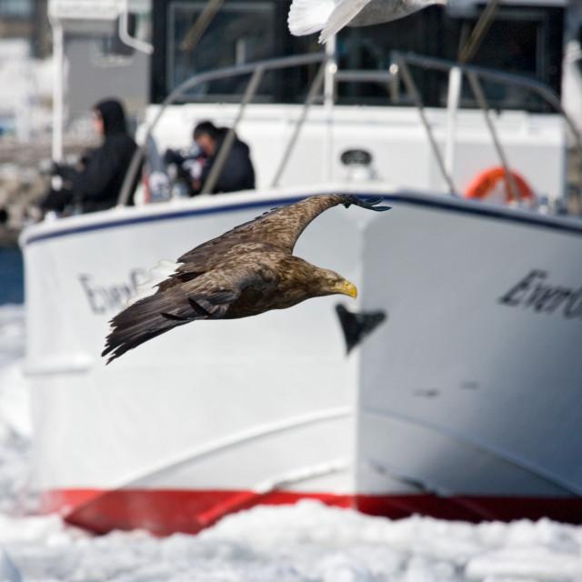 """Zeearend, White-tailed Eagle, Haliaeetus albicilla"" stock image"