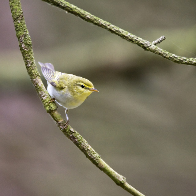 """Fluiter, Wood Warbler, Phylloscopus sibilatrix"" stock image"