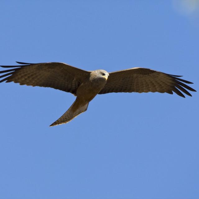 """""""Geelsnavelwouw, Yellow-billed Kite, Milvus aegyptius"""" stock image"""