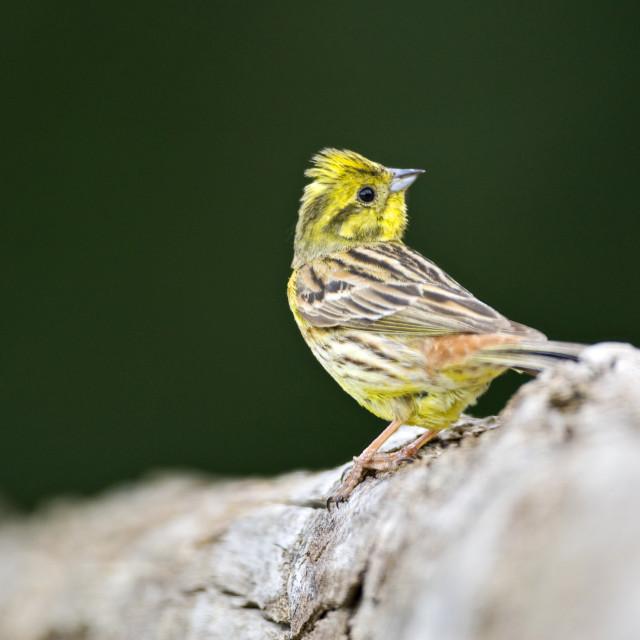 """Geelgors, Yellowhammer, Emberiza citrinella"" stock image"