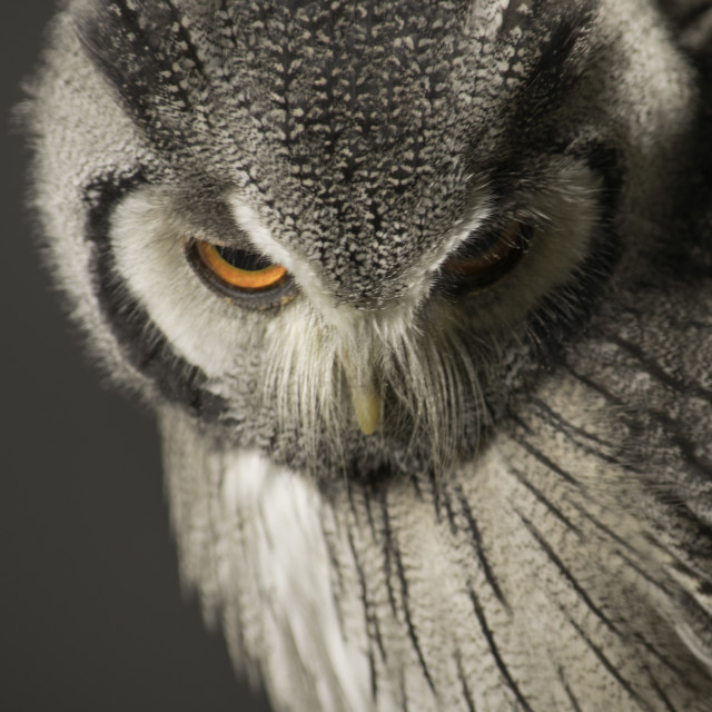 """Southern White Faced Owl"" stock image"