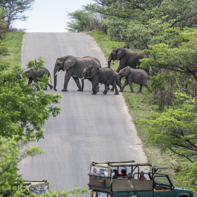 """Jeep safari watching elephants in Kruger national park, South Africa"" stock image"