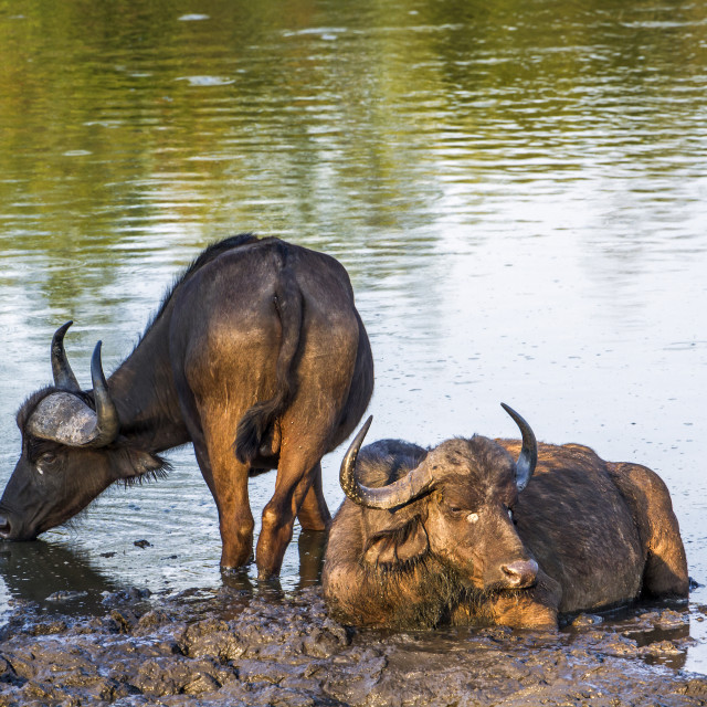 """""""African wild buffalo in Kruger national park, South Africa"""" stock image"""
