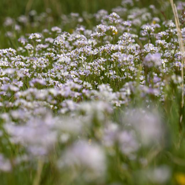 """""""Pinksterbloem, Cuckoo Flower, Cardamine pratensis"""" stock image"""