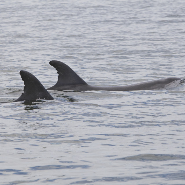 """""""Tuimelaar, Common Bottlenose Dolphin, Tursiops truncatus"""" stock image"""
