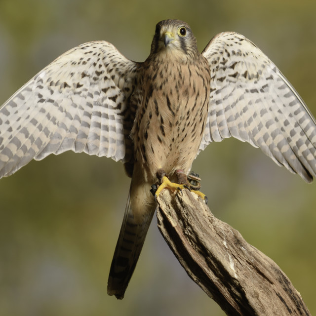 """Kestrel,small bird of prey"" stock image"