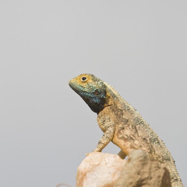 """Common Spiny Agama, Agama hispida"" stock image"