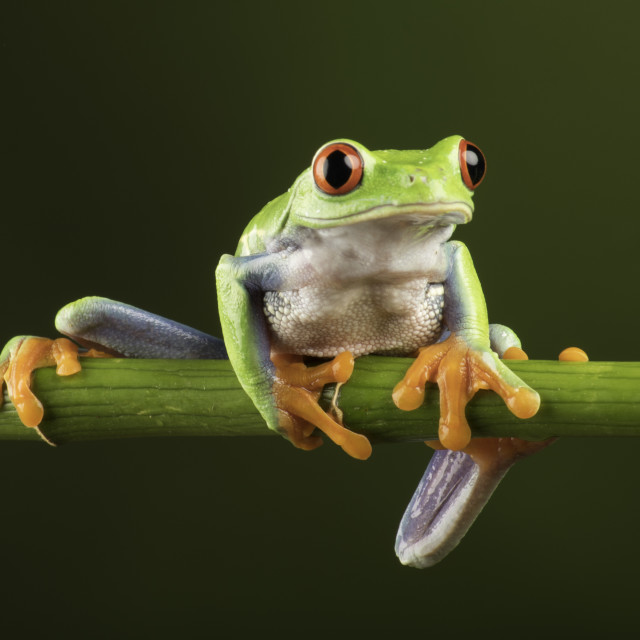 """Red eye tree frog has the most amazing eyes"" stock image"