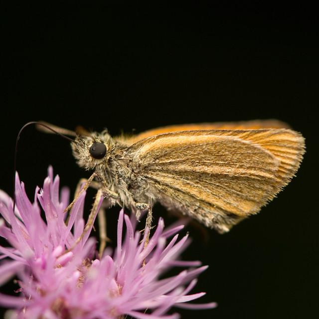 """Small Skipper, Geelsprietdikkopje, Thymelicus sylvestris"" stock image"