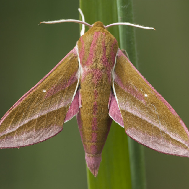"""Groot avondrood, Elephant Hawk-moth, Deilephila elpenor"" stock image"