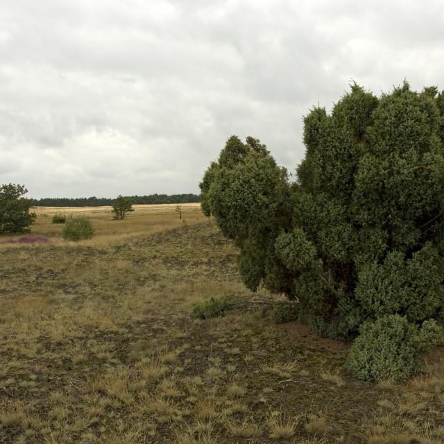 """""""Jeneverbes, Common Juniper, Juniperus communis"""" stock image"""