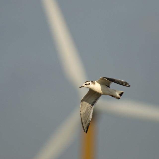 """Little Gull, Dwergmeeuw, Larus minutus"" stock image"