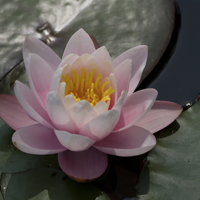 """Water-lily, Waterlelie, Nymphaea spec"" stock image"