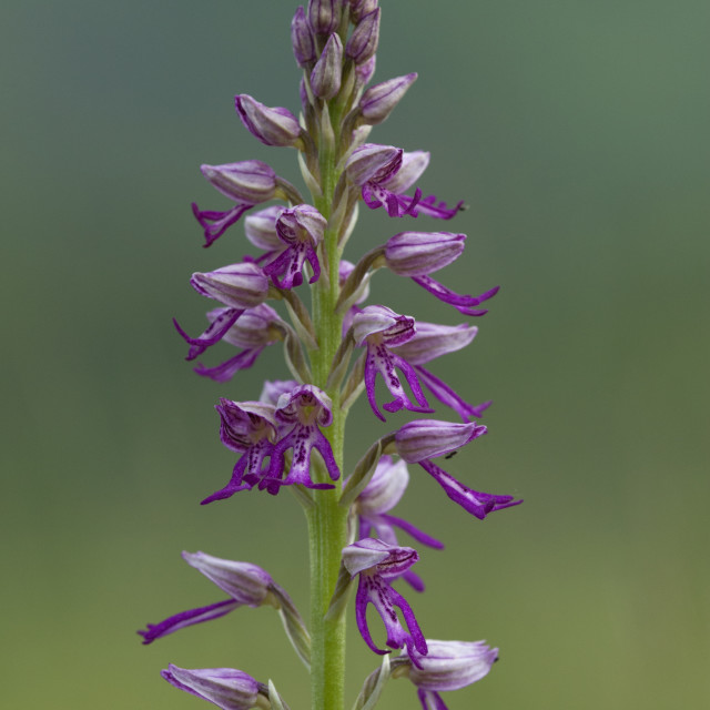 """""""Soldaatje, Military Orchid, Orchis militaris"""" stock image"""
