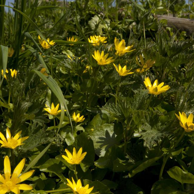 """Gewoon speenkruid, Lesser celandine, Ranunculus ficaria"" stock image"
