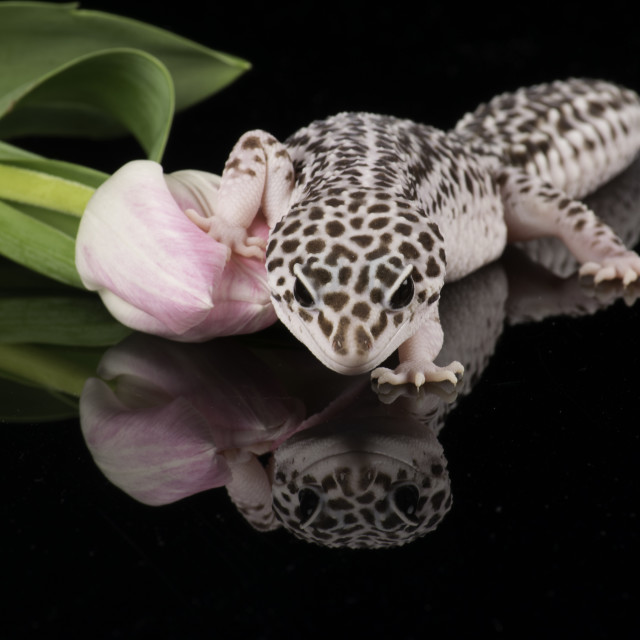"""Leopard Gecko, the lizard with a smile."" stock image"