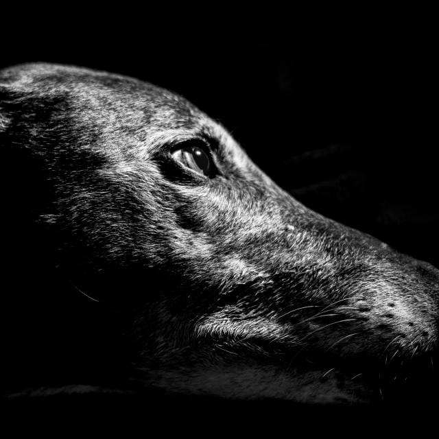 """Greyhound"" stock image"