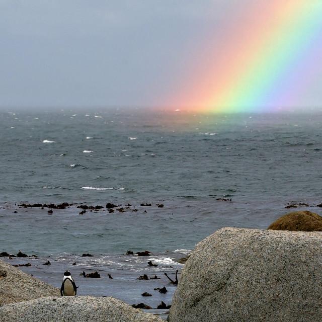 """""""Zwartvoetpinguïn, Jackass Penguin, Spheniscus demersus"""" stock image"""