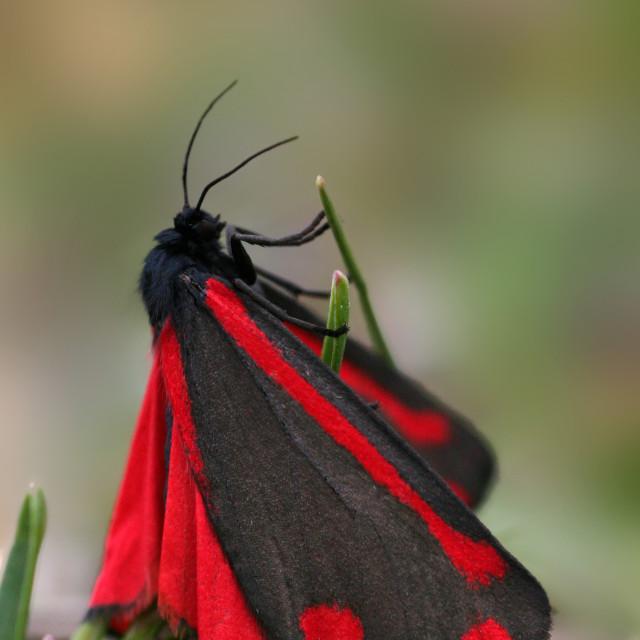 """SintJacobsvlind, Cinnabar Moth, Tyria jacobaeae;"" stock image"