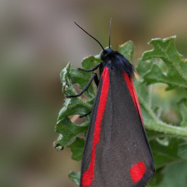 """SintJacobsvlinder, Cinnabar Moth, Tyria jacobaeae,"" stock image"
