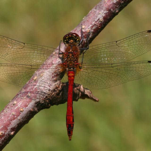 """""""Bruinrode Heidelibel, Common Darter"""" stock image"""