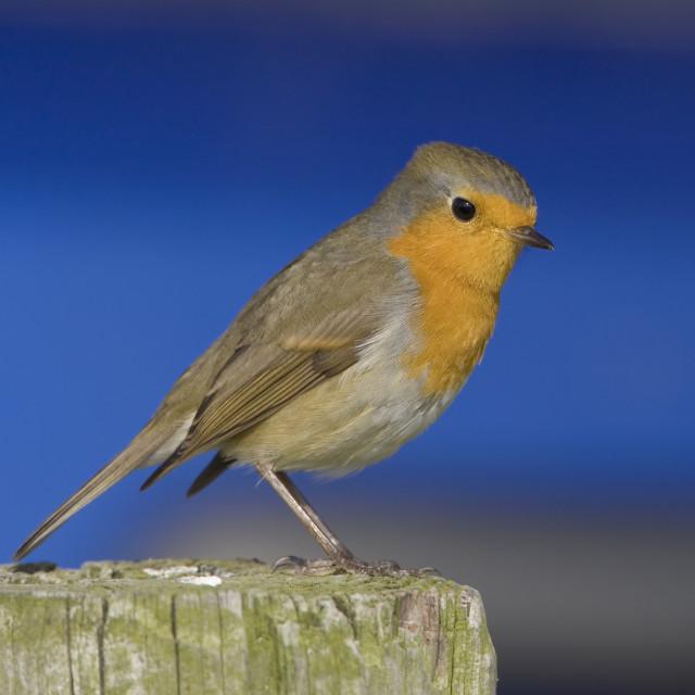 """Roodborst, European Robin, Erithacus rubecula"" stock image"