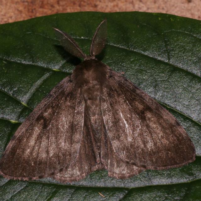 """Gypsy moth, Plakker, Lymantria dispar"" stock image"