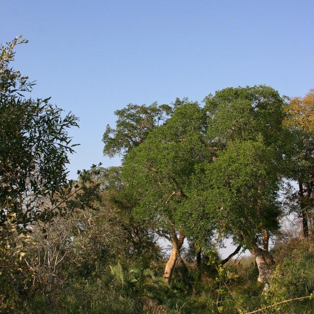 """""""Krugerpark, South Africa, Zuid-Afrika"""" stock image"""