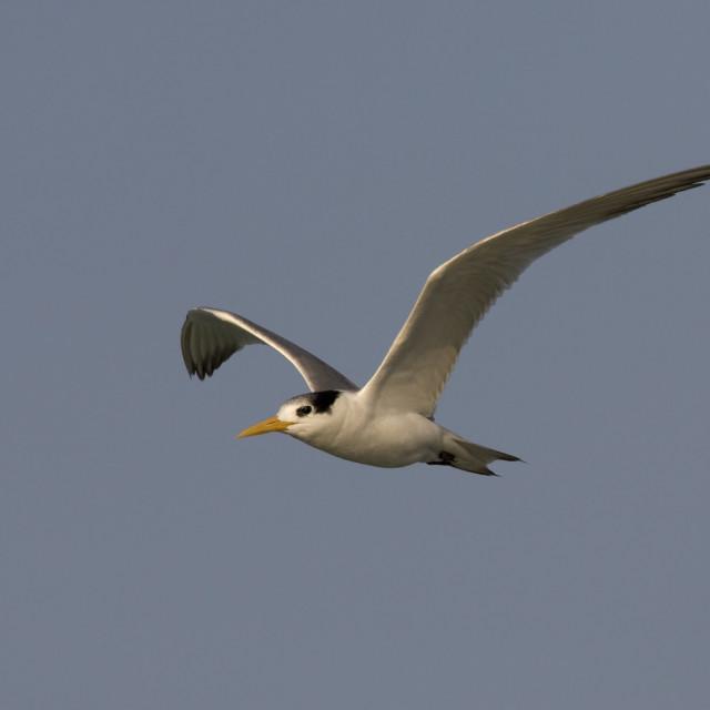 """Bengaalse Stern, Lesser Crested Tern, Thalasseus bengalensis"" stock image"