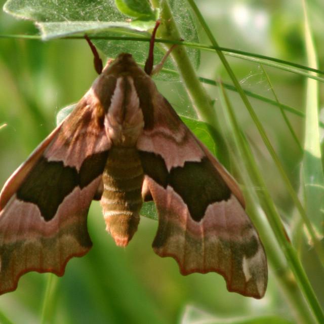 """Lime Hawk-moth; Lindepijlstaart; Mimas tillae"" stock image"