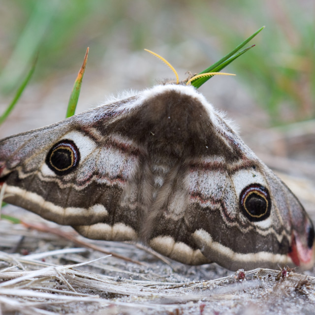 """Nachtpauwoog, Emperor Moth, Eudia pavonia"" stock image"