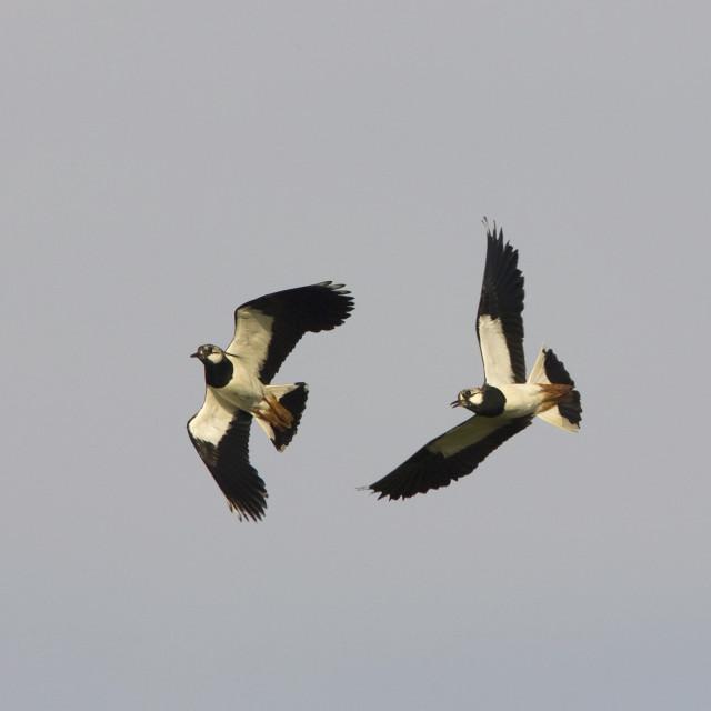 """Kievit; Northern Lapwing; Vanellus vanellus"" stock image"