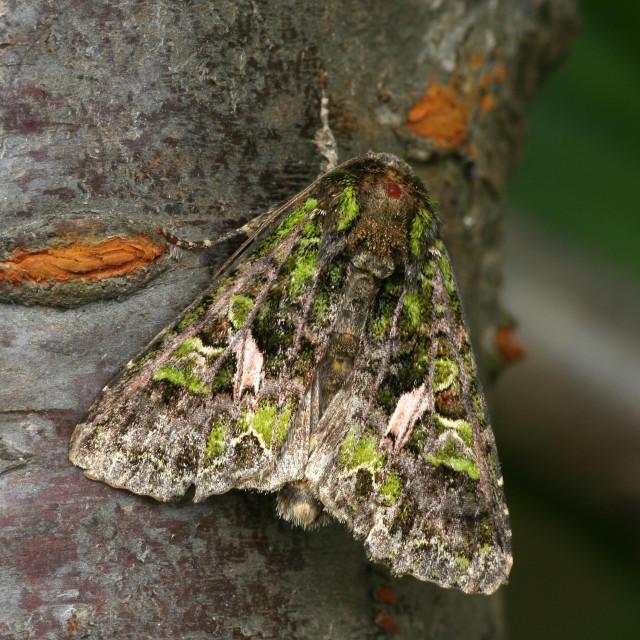 """Orache Moth, Meldevlinder, Trachea atriplicis"" stock image"